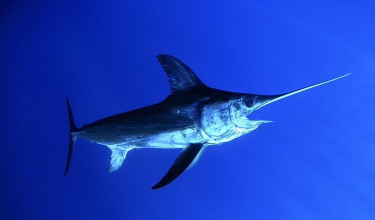 swordfish-1024